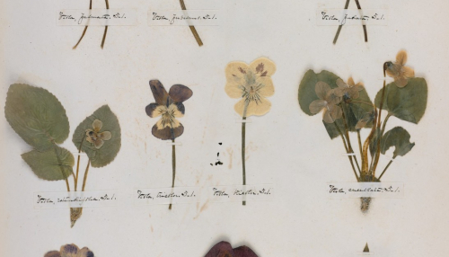 The Emily Dickinson's Herbarium, collections Hughton library - Harvard University